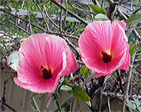 Hibiscus 'Cecily's Selection'